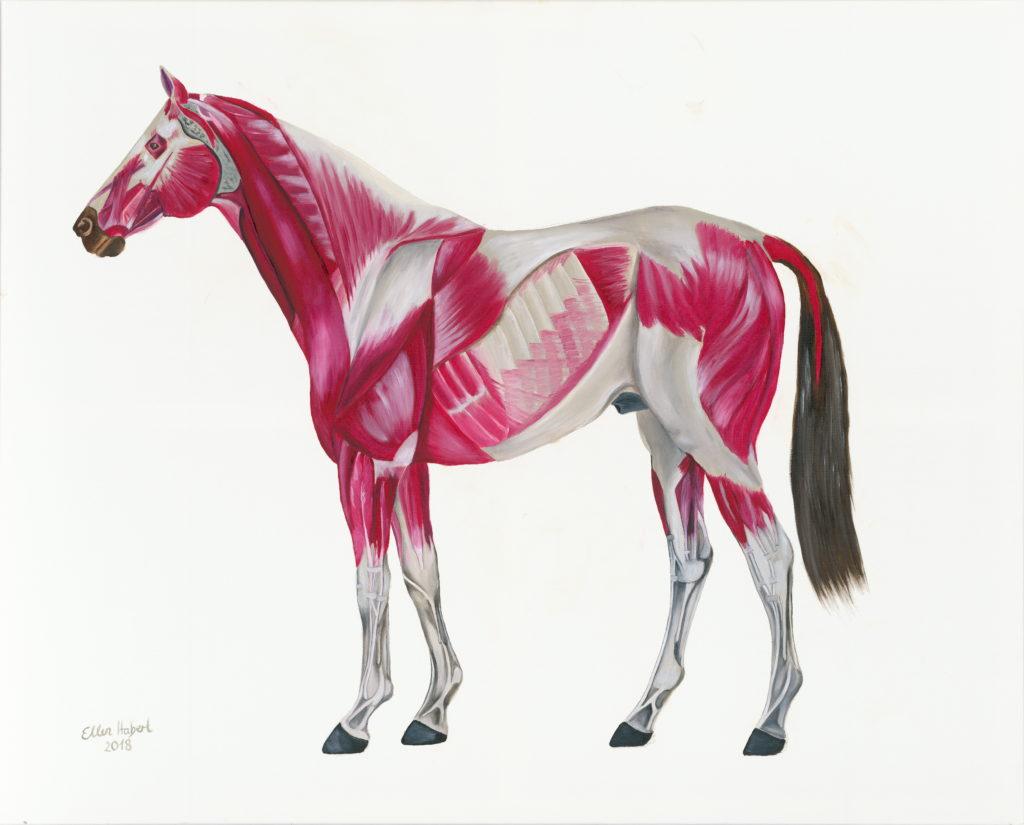 Pferdemuskel